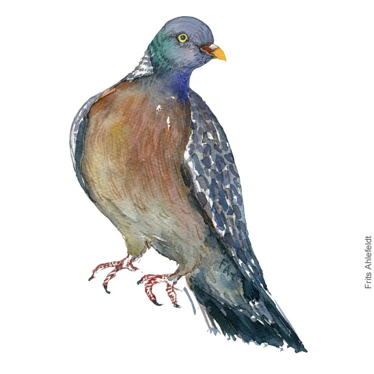 Common wood pigeon - Skovdue, ringdue akvarel. Watercolor painting by Frits Ahlefeldt