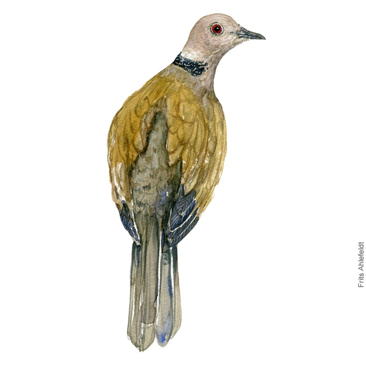 Eurasian collared dove - Tyrkerdue akvarel. Watercolor painting by Frits Ahlefeldt
