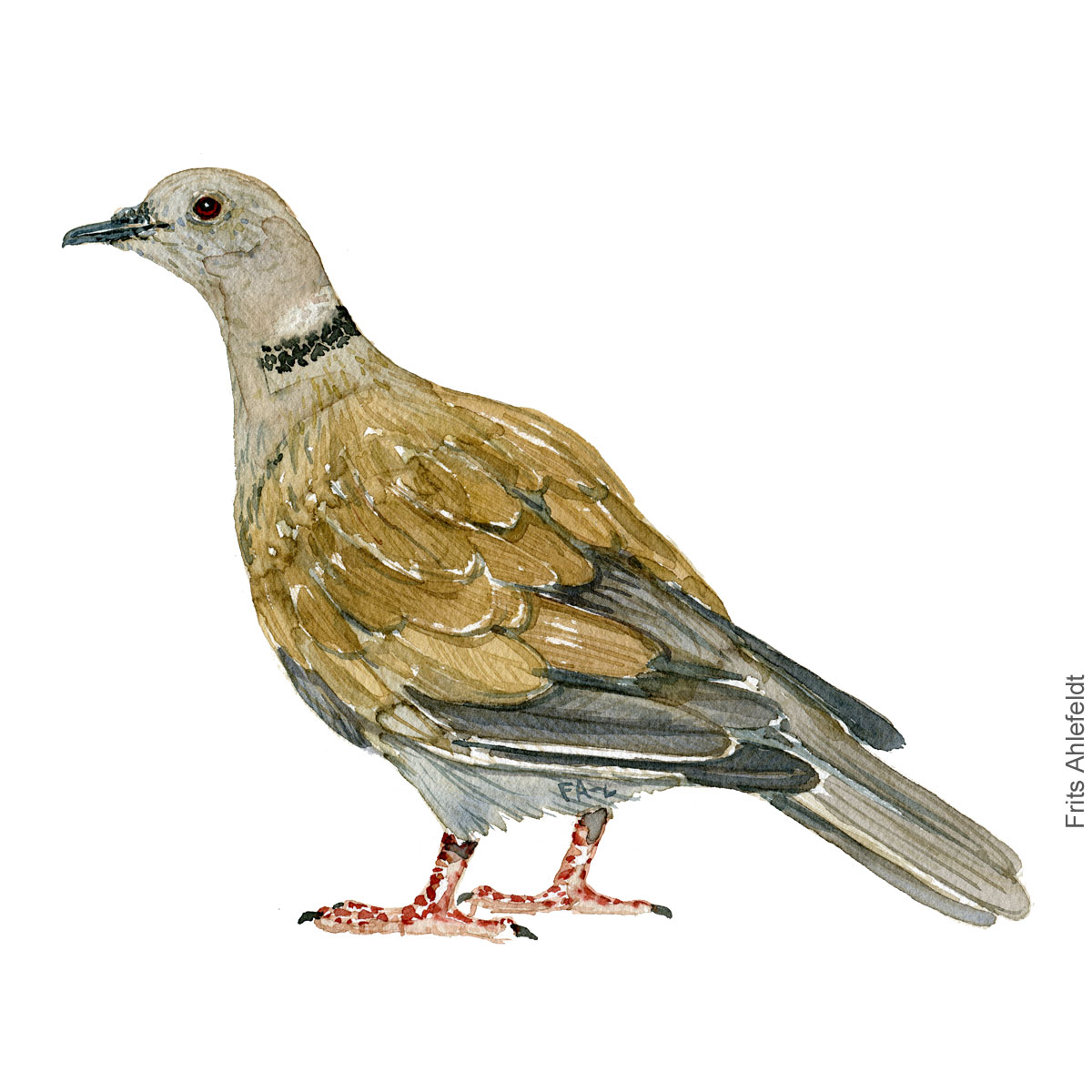 Eurasian collared dove, Tyrkerdue. akvarel. Watercolor painting by Frits Ahlefeldt