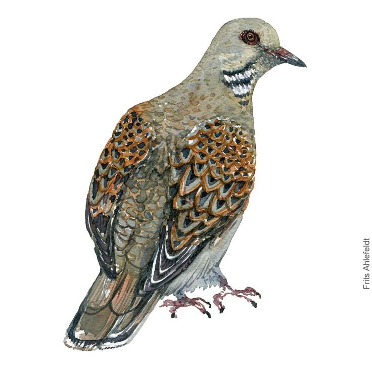 Turtledove, turteldue akvarel. Watercolor painting by Frits Ahlefeldt
