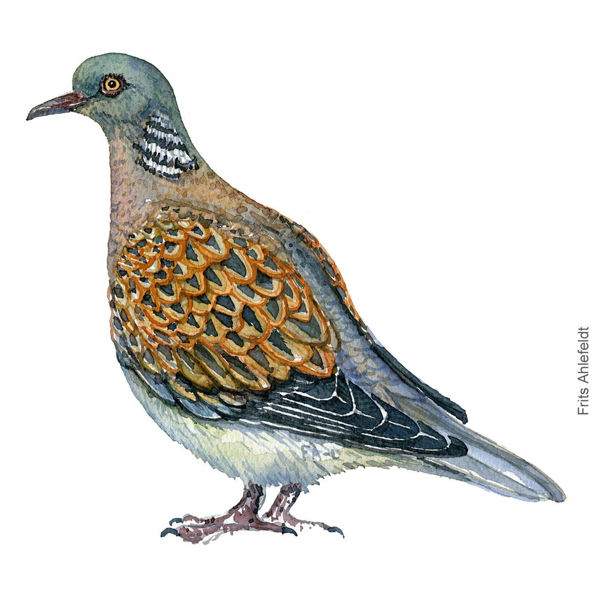 European turtledove, Turteldue akvarel. Watercolor painting by Frits Ahlefeldt