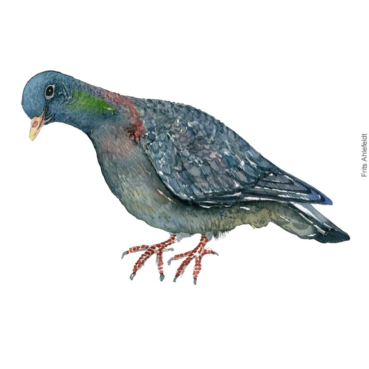Stock dove, Huldue akvarel. Watercolor painting by Frits Ahlefeldt