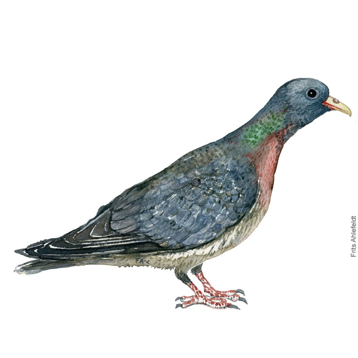 Stockdove - Huldue akvarel. Watercolor painting by Frits Ahlefeldt