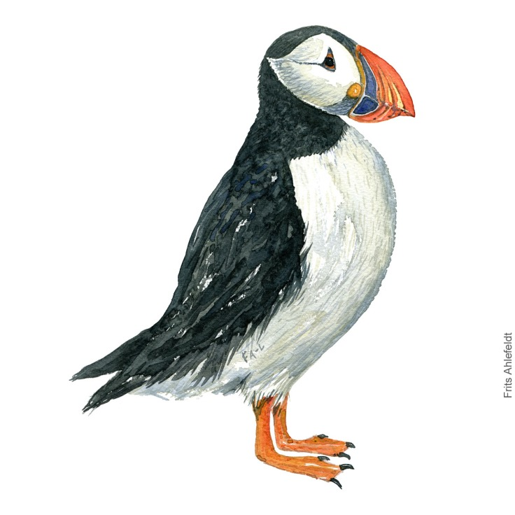 Atlantic puffin - Lunde Akvarel. Watercolor bird illustration by Frits Ahlefeldt