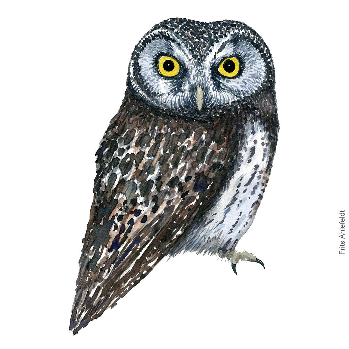 Boreal owl - Perleugle Akvarel. Watercolor bird illustration by Frits Ahlefeldt