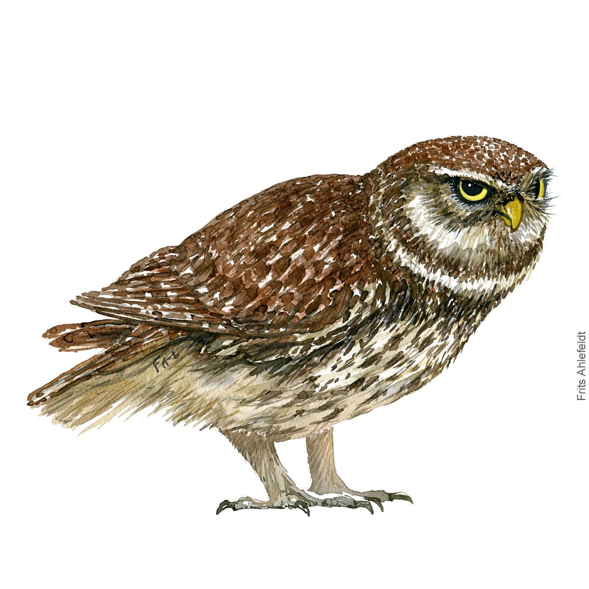 Little owl - Kirkeugle Akvarel. Watercolor bird illustration by Frits Ahlefeldt