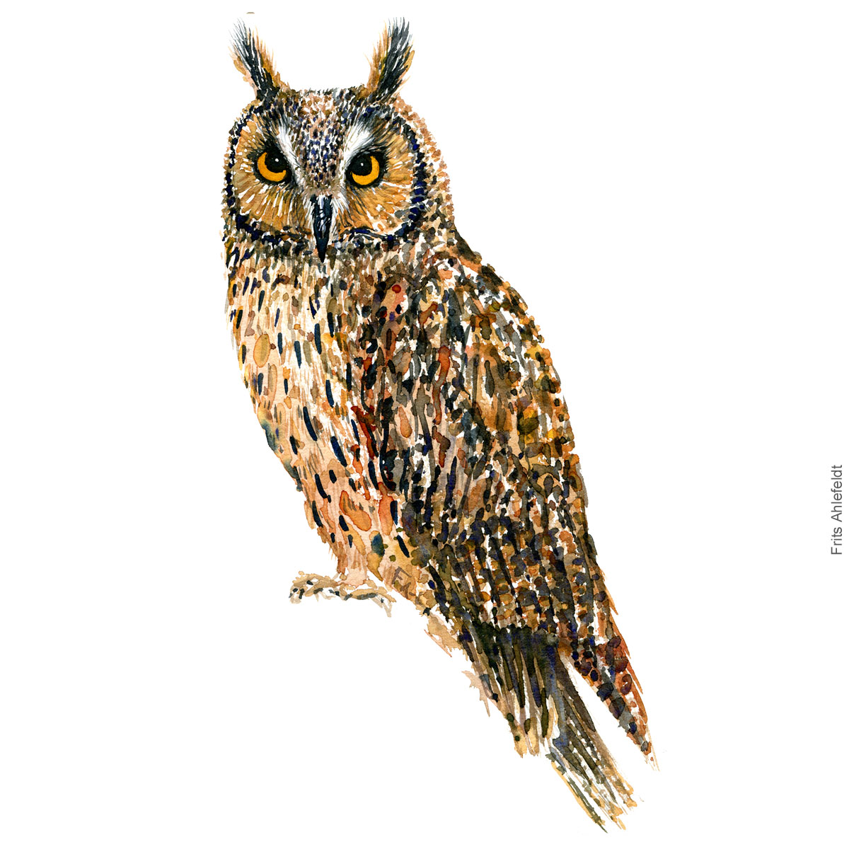 Long eared owl - Skovhornsugle Akvarel. Watercolor bird illustration by Frits Ahlefeldt