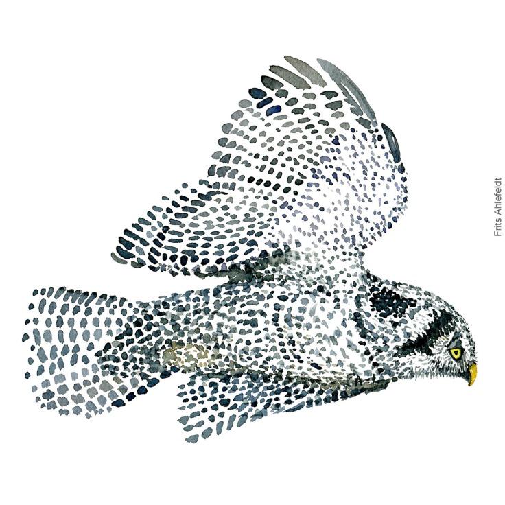 Northern hawk owl - Høgeugle Akvarel. Watercolor bird illustration by Frits Ahlefeldt