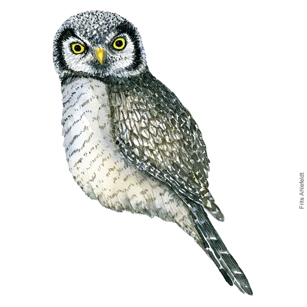 Northern hawk owl - Hoegeugle Akvarel. Watercolor bird illustration by Frits Ahlefeldt