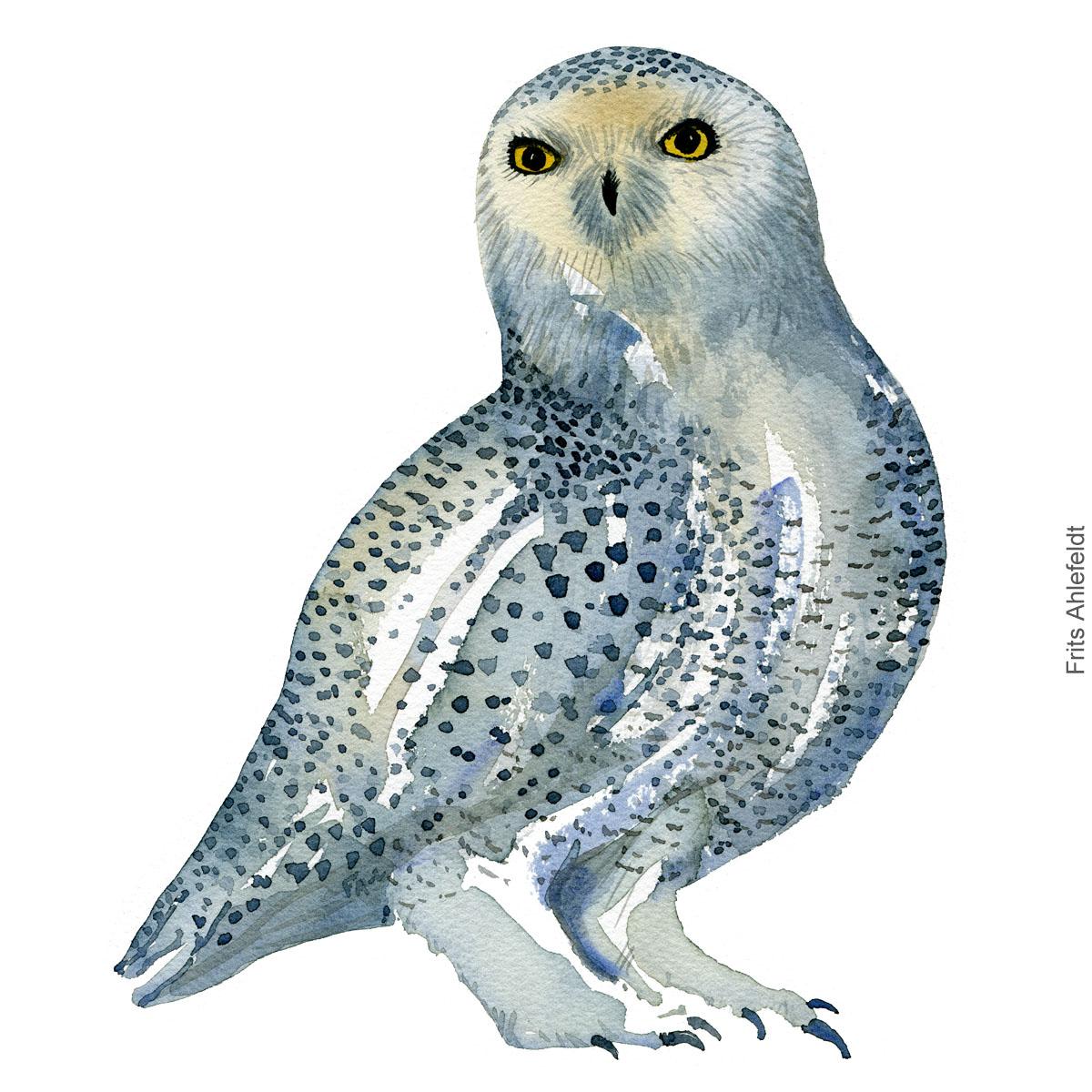 Snowy owl - Sneugle Akvarel. Watercolor bird illustration by Frits Ahlefeldt