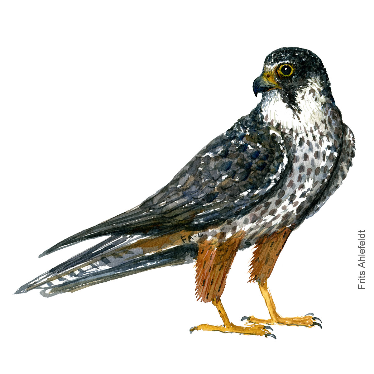 Hobby Falcon - Laerkefalk Akvarel. Watercolor bird illustration by Frits Ahlefeldt