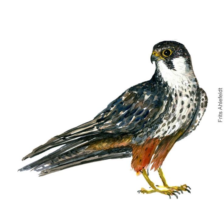 Hobby falcon - Lærkefalk Akvarel. Watercolor bird illustration by Frits Ahlefeldt