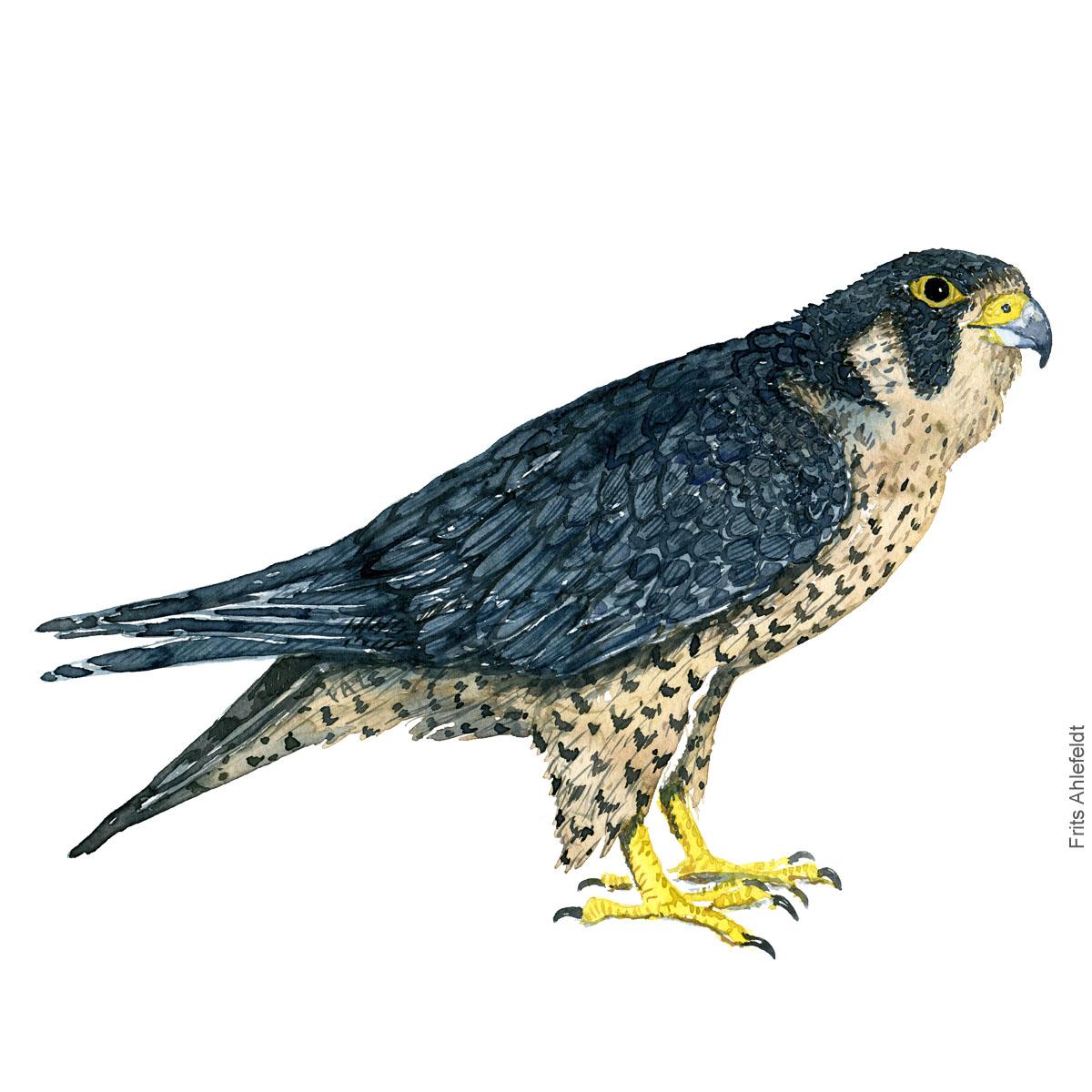 Dw00359 Peregrine falcon - Vandrefalk Akvarel. Watercolor bird illustration by Frits Ahlefeldt