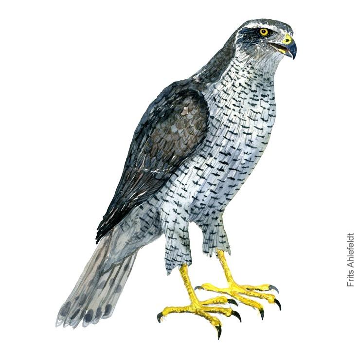 Northern Goshawk - Duehoeg Akvarel. Watercolor bird illustration by Frits Ahlefeldt