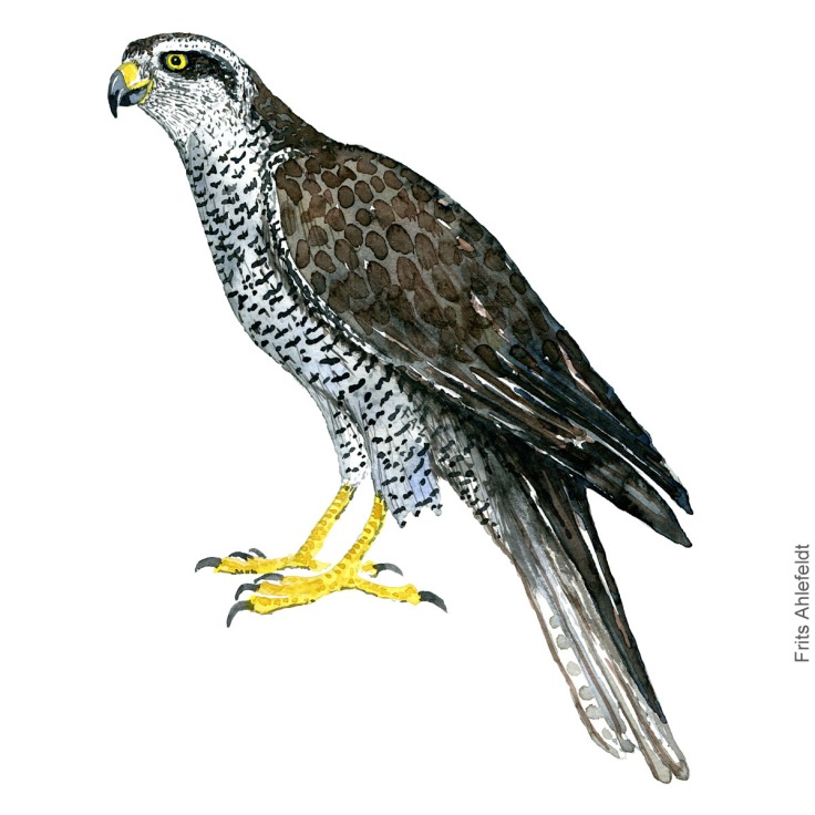 Northern Goshawk - Duehøg Akvarel. Watercolor bird illustration by Frits Ahlefeldt