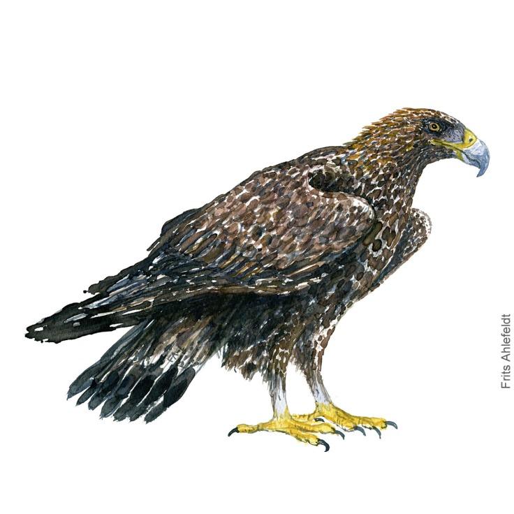 Golden Eagle. Kongeørn Akvarel. Watercolor bird illustration by Frits Ahlefeldt