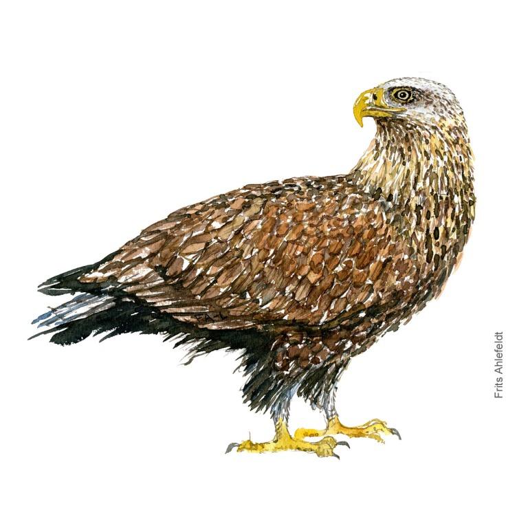 White tailed Eagle. Havoern. Akvarel. Watercolor bird illustration by Frits Ahlefeldt
