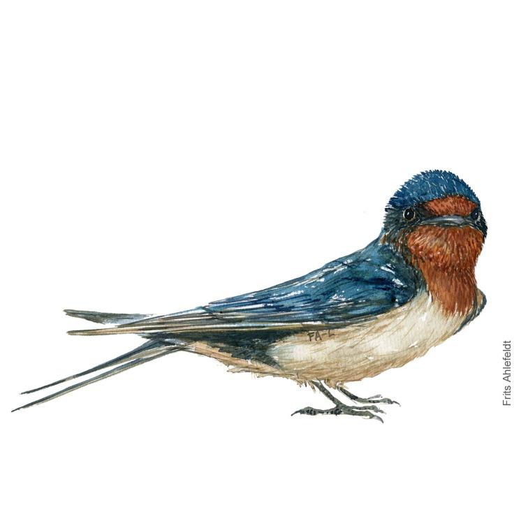 Barn Swallow - Landsvale Akvarel. Watercolor bird illustration by Frits Ahlefeldt