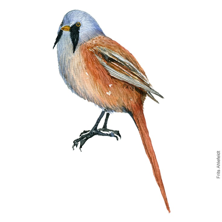 Bearded reedling - Skaegmejse Akvarel. Watercolor bird illustration by Frits Ahlefeldt