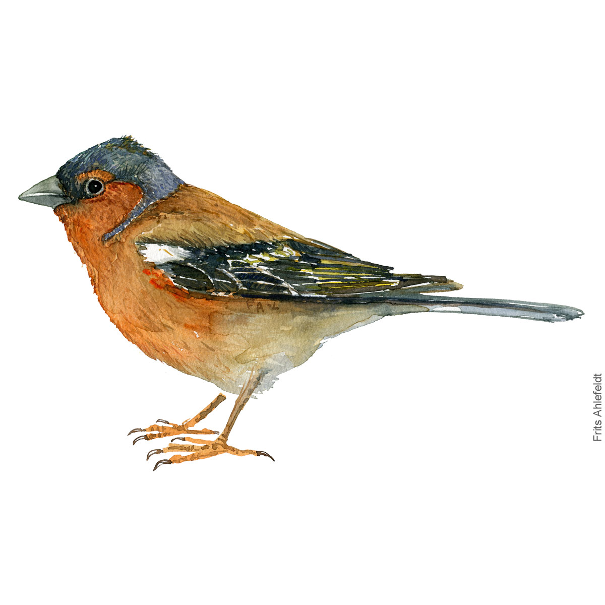 Common Chaffinch - Bogfinke Akvarel. Watercolor bird illustration by Frits Ahlefeldt