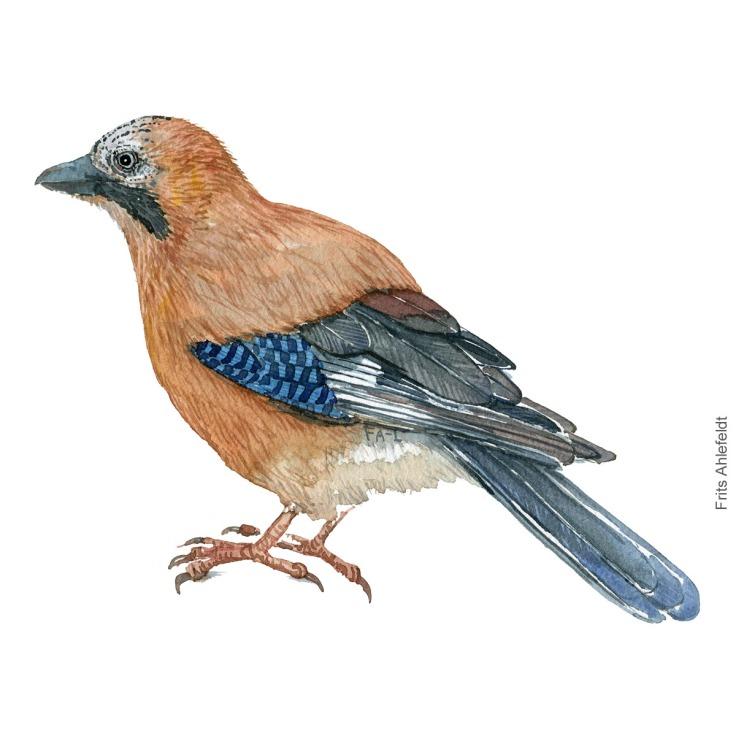Eurasian jay - Skovskade Akvarel. Watercolor bird illustration by Frits Ahlefeldt