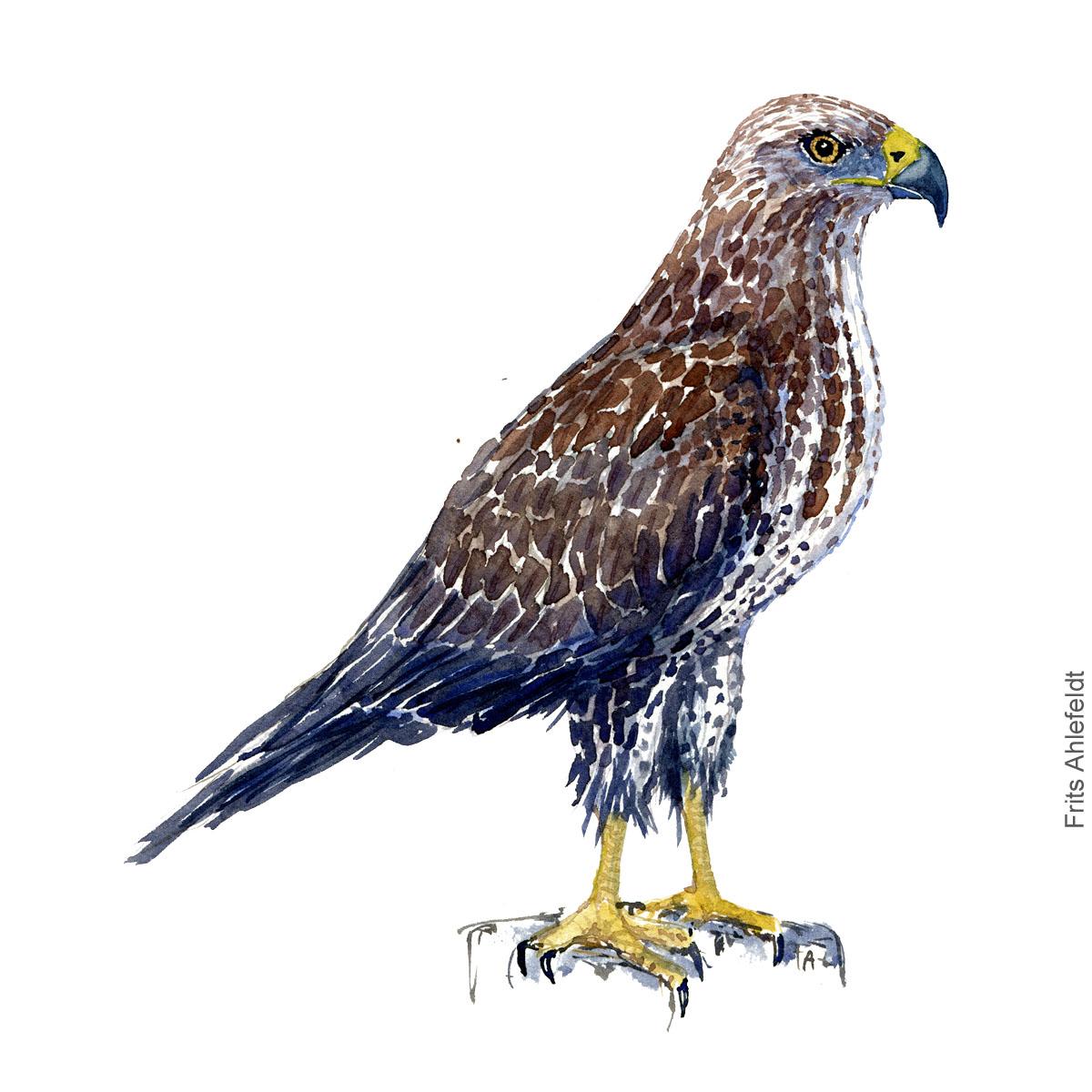 Buzzard - Musvaage Akvarel. Watercolor bird illustration by Frits Ahlefeldt