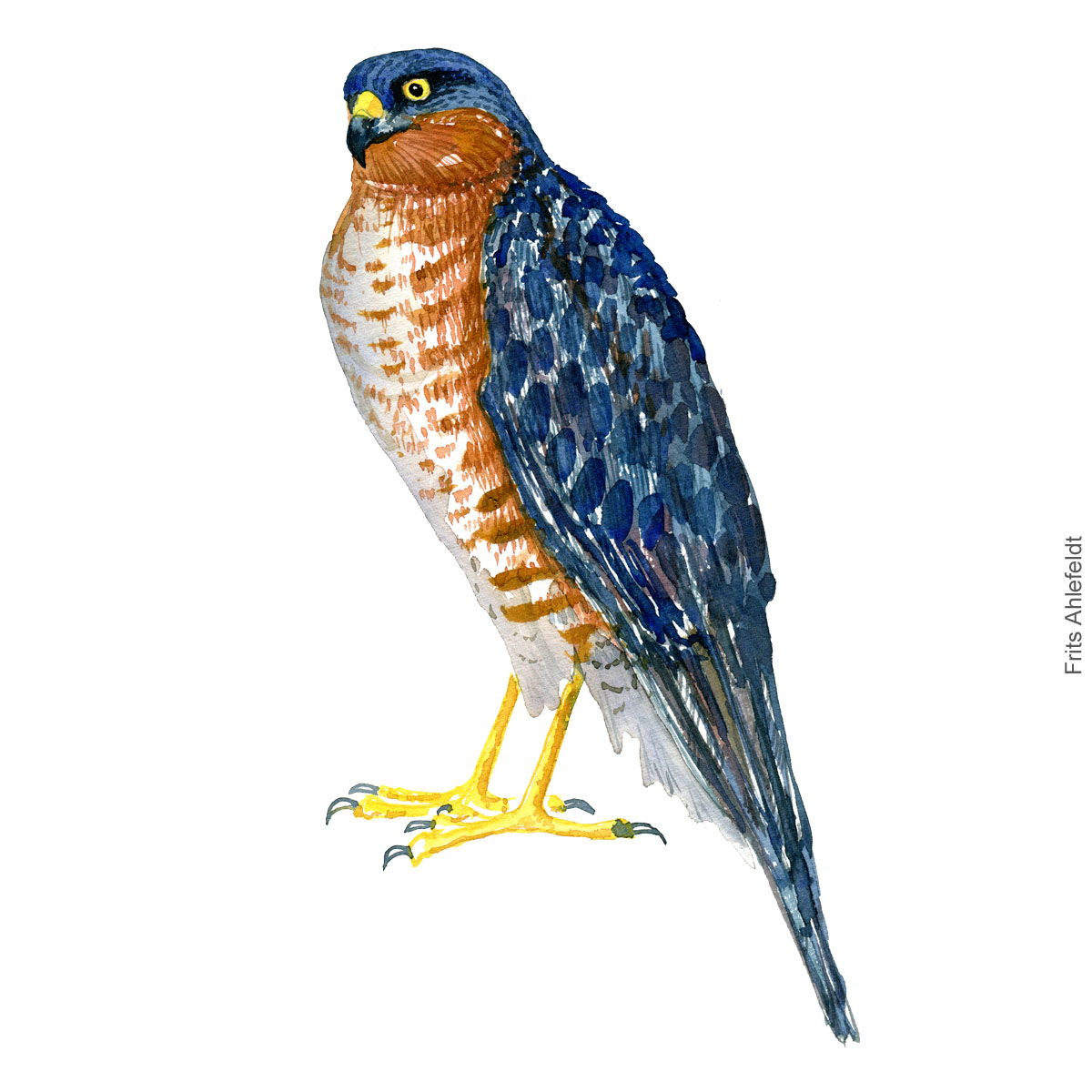 Erurasian sparrow hawk spurvehoeg Akvarel. Watercolor bird illustration by Frits Ahlefeldt