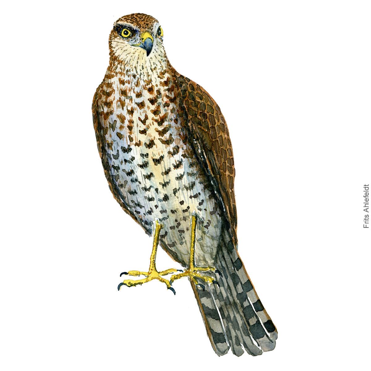 Eurasian sparrow hawk - Spurvehøg Akvarel. Watercolor bird illustration by Frits Ahlefeldt