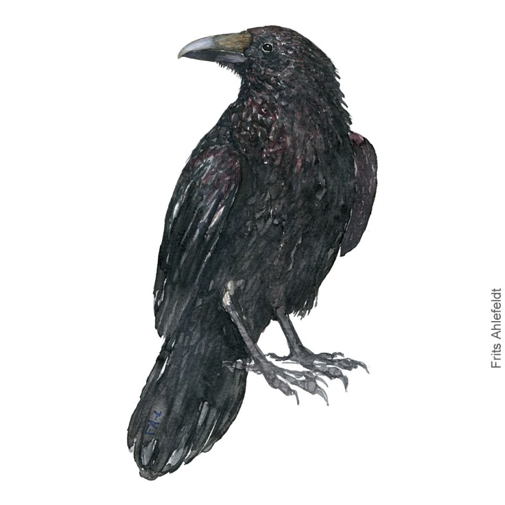 Raven - Ravn Akvarel. Watercolor bird illustration by Frits Ahlefeldt