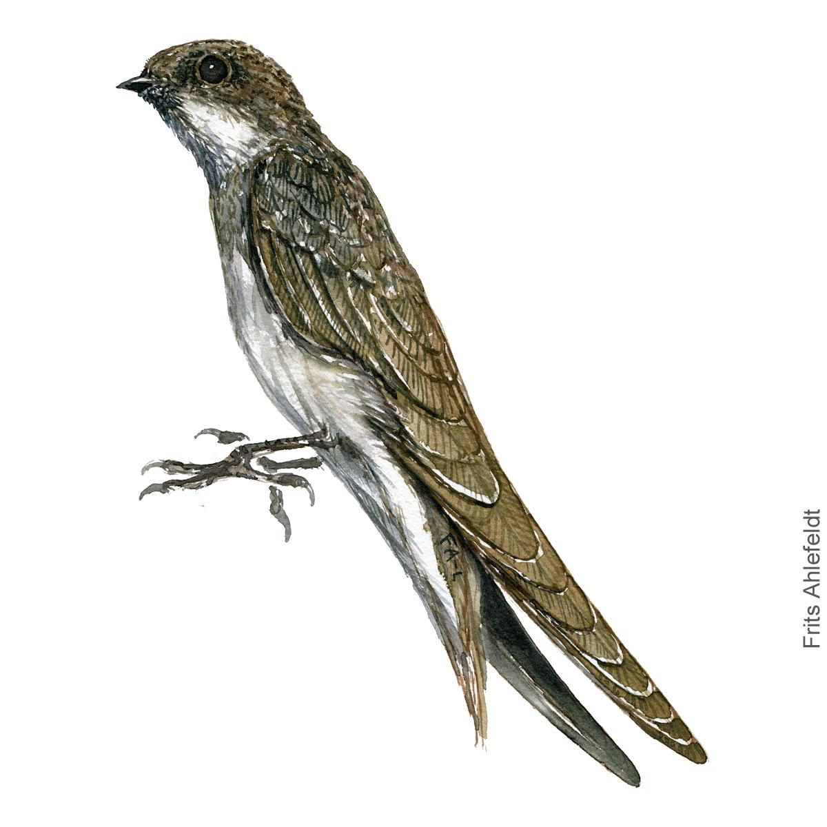 Sand martin - Digesvale Akvarel. Watercolor bird illustration by Frits Ahlefeldt