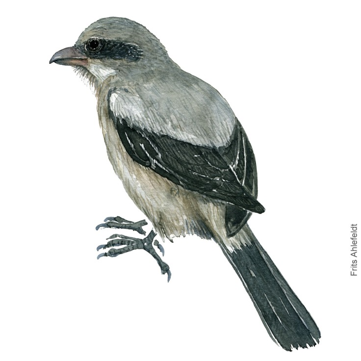 Great grey shrike - Stor taarnskade Akvarel. Watercolor bird illustration by Frits Ahlefeldt