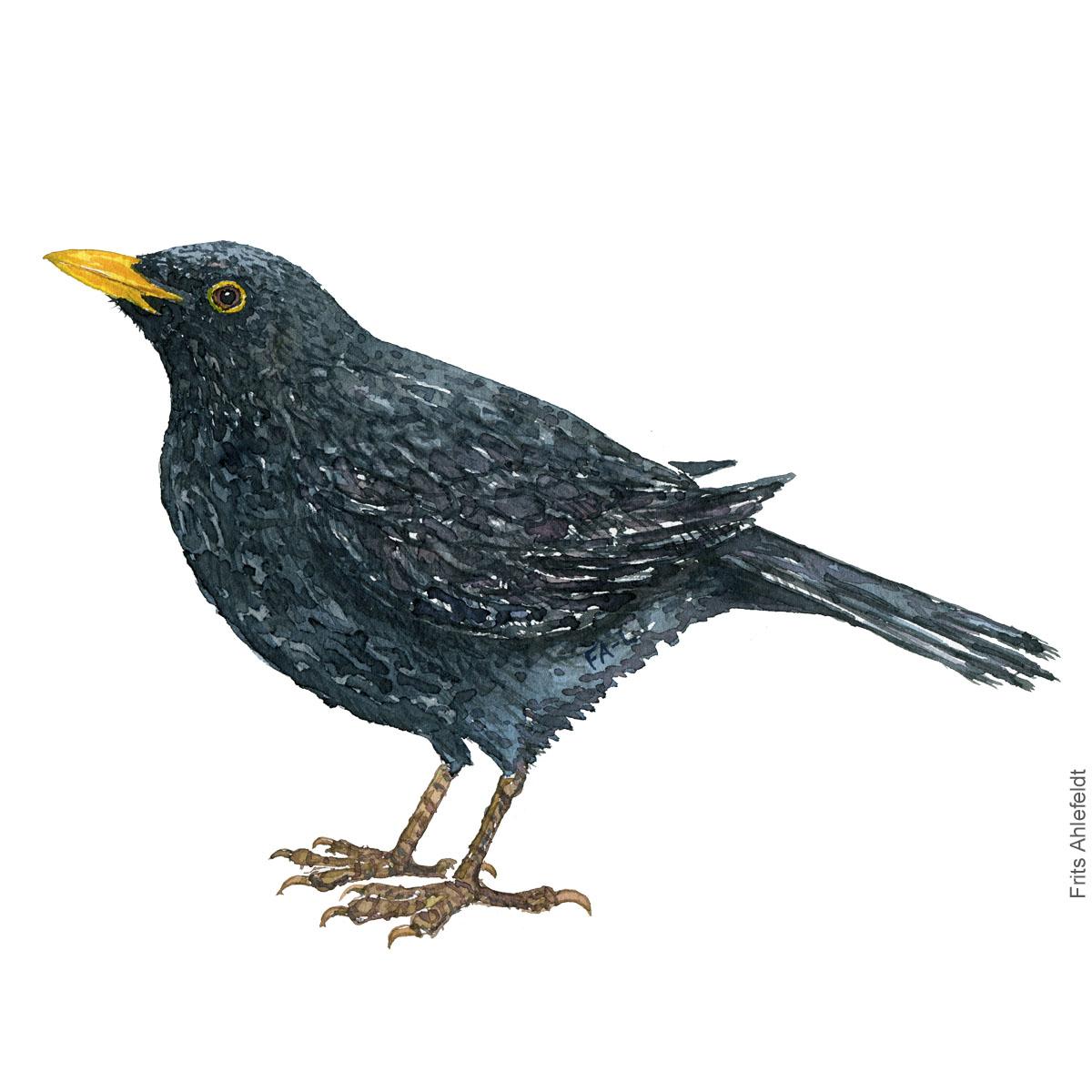 Blackbird - Solsort bird watercolor illustration. Painting by Frits Ahlefeldt. Fugle akvarel