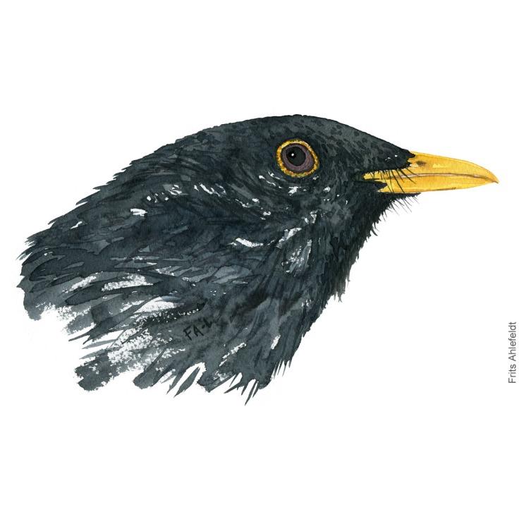 Blackbird - Solsort. Bird watercolor illustration. Painting by Frits Ahlefeldt. Fugle akvarel