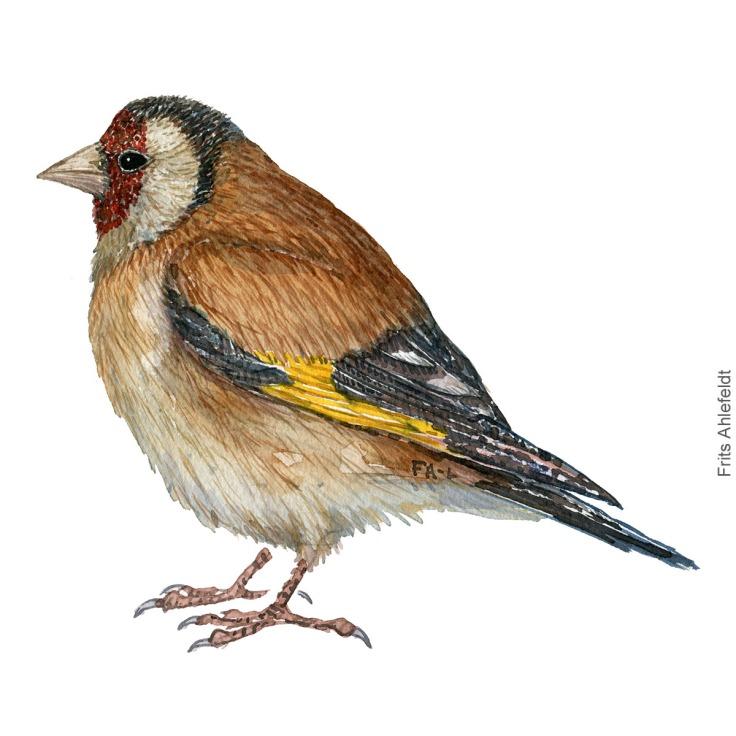 European Goldfinch - Stillits bird watercolor illustration. Painting by Frits Ahlefeldt. Fugle akvarel