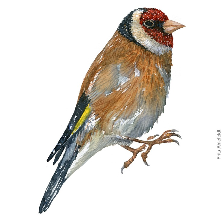 Stillits - European goldfinch bird watercolor illustration. Painting by Frits Ahlefeldt. Fugle akvarel