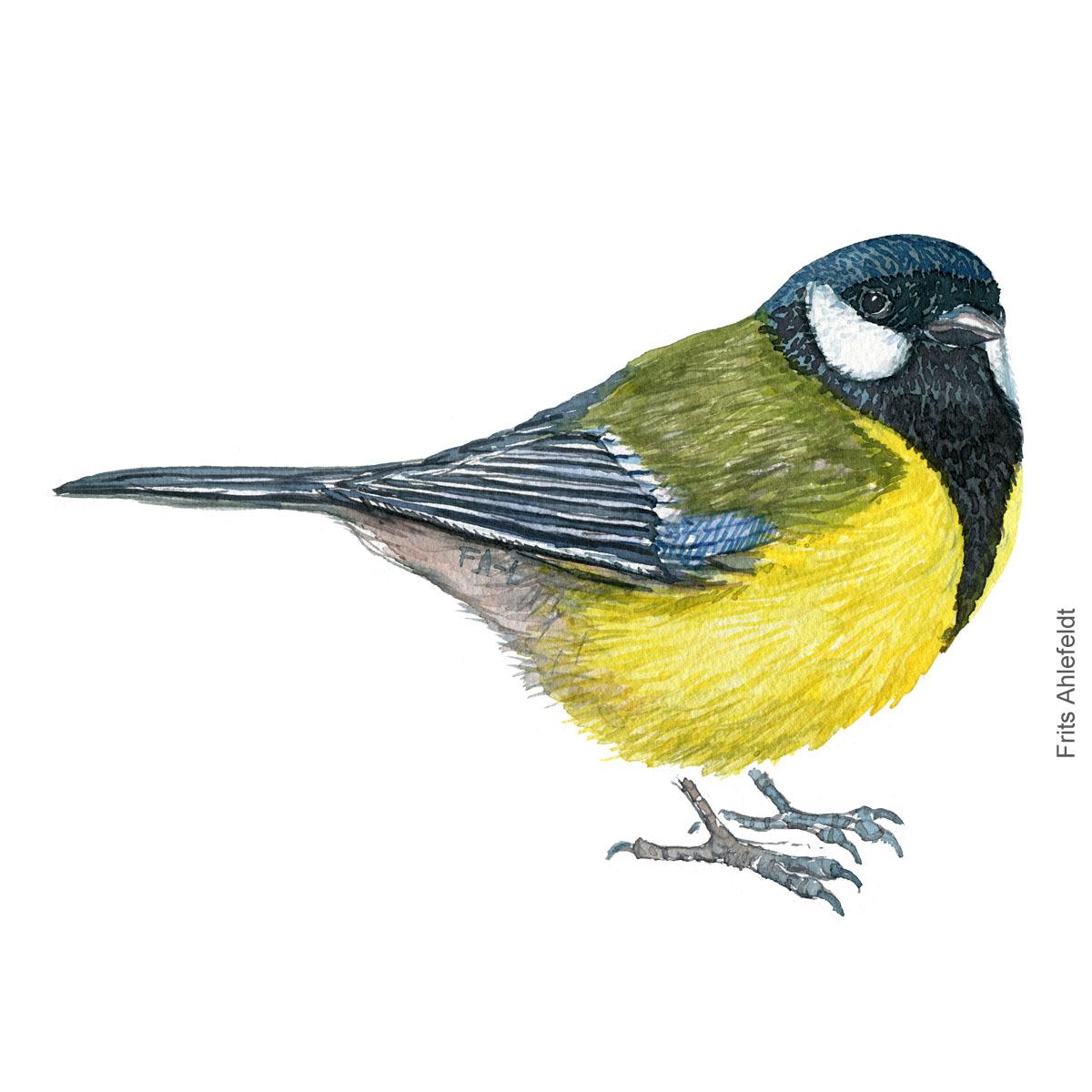 Musvit - Great tit bird watercolor illustration. Painting by Frits Ahlefeldt. Fugle akvarel