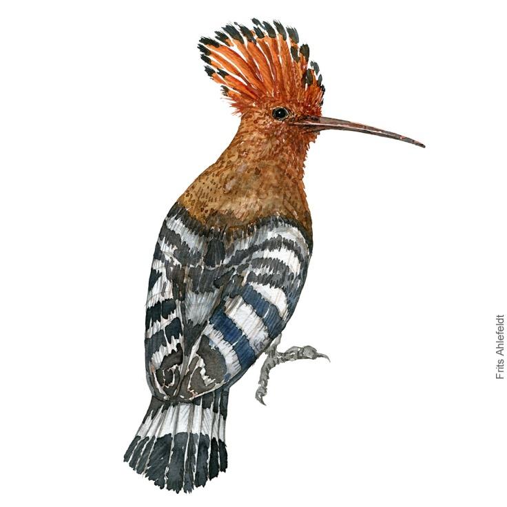Haerfugl - Eurasian Hoopoe bird watercolor illustration. Painting by Frits Ahlefeldt. Fugle akvarel
