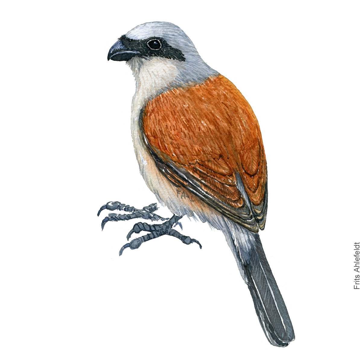 roedrygget tornskade - Red backed shrike bird watercolor illustration. Painting by Frits Ahlefeldt. Fugle akvarel
