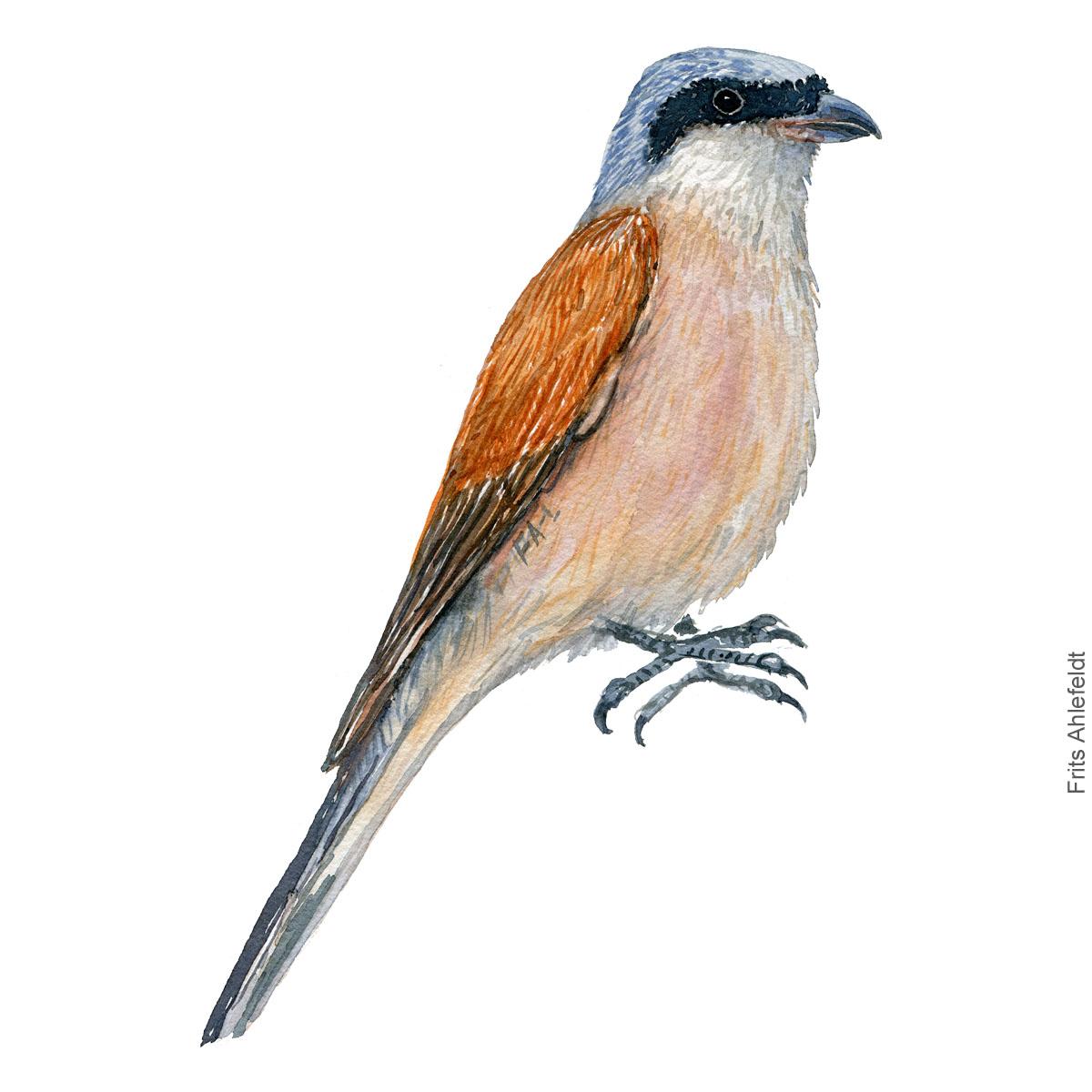 Roedrygget tornskade. Red backed shrike Haerfugl - Eurasian Hoopoe bird watercolor illustration. Painting by Frits Ahlefeldt. Fugle akvarel
