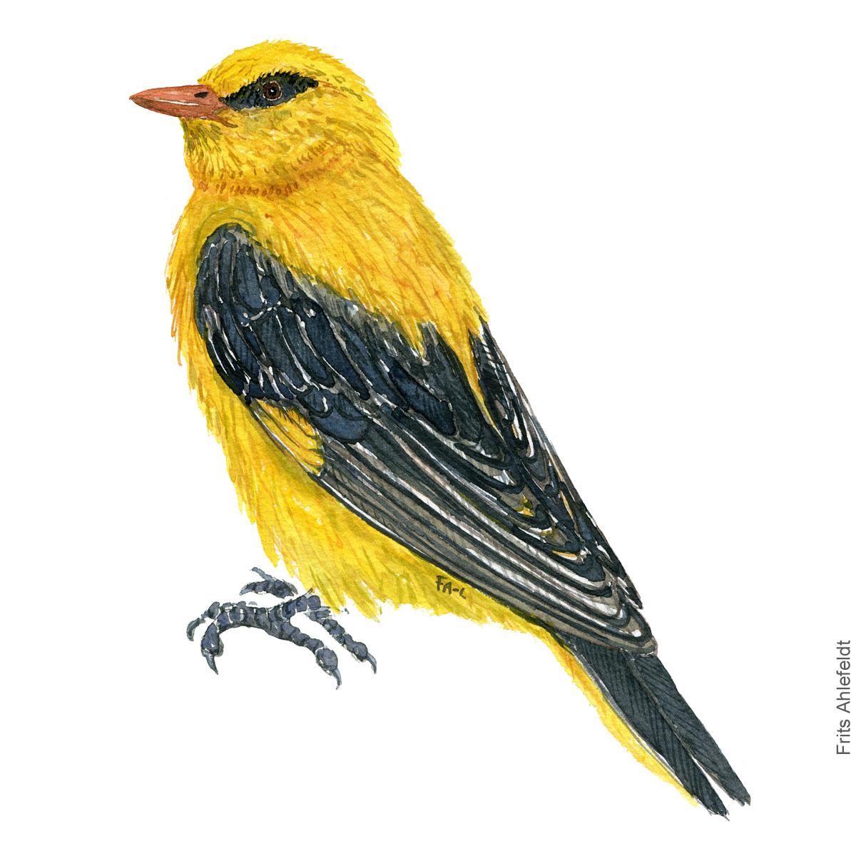 Pirol - Eurasian golden oriole Haerfugl - Eurasian Hoopoe bird watercolor illustration. Painting by Frits Ahlefeldt. Fugle akvarel