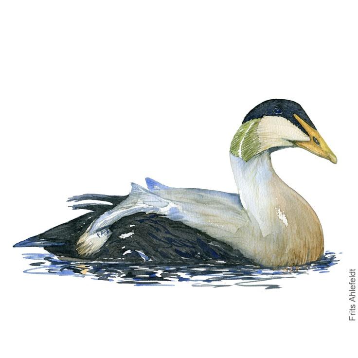 Edderfugl - Eider Haerfugl - Eurasian Hoopoe bird watercolor illustration. Painting by Frits Ahlefeldt. Fugle akvarel