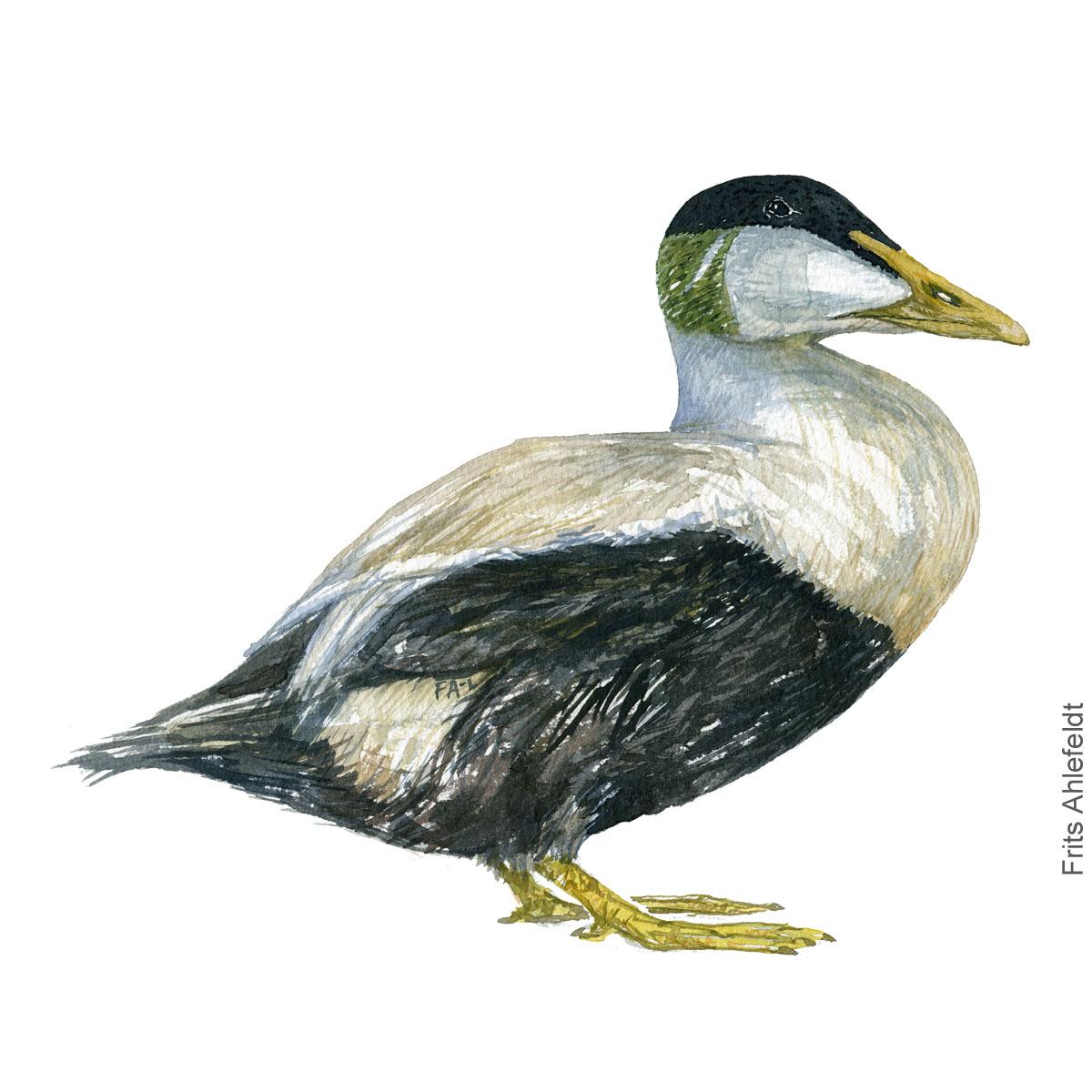 Edderfugl - Eider bird watercolor illustration. Painting by Frits Ahlefeldt. Fugle akvarel
