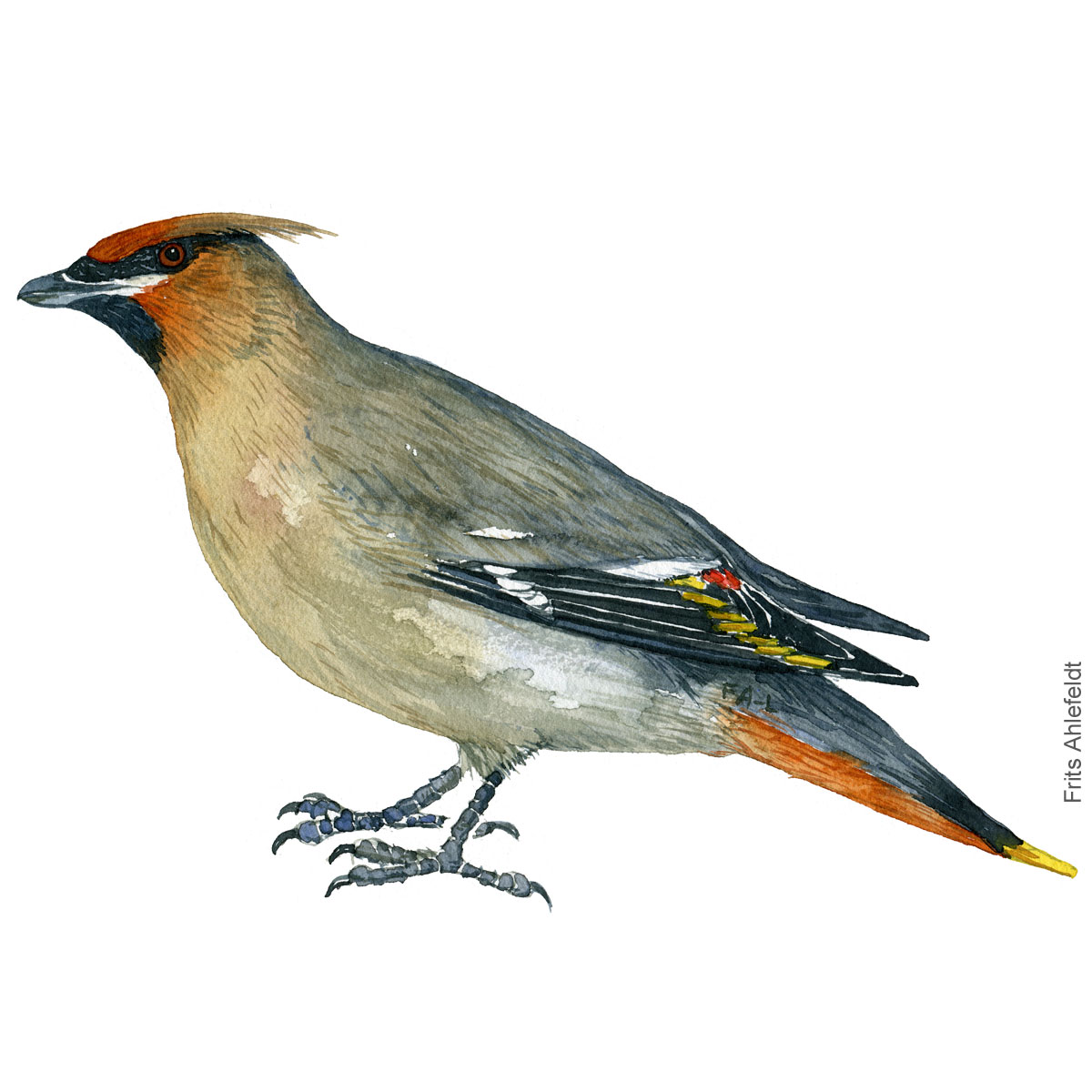 Silkehale - Bohemian waxwing bird watercolor illustration. Painting by Frits Ahlefeldt. Fugle akvarel