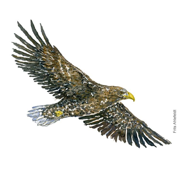 havoern - White tailed eagle bird watercolor illustration. Painting by Frits Ahlefeldt. Fugle akvarel