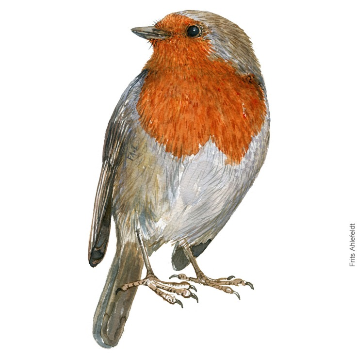 Rødhals - Robin bird watercolor illustration. Painting by Frits Ahlefeldt. Fugle akvarel