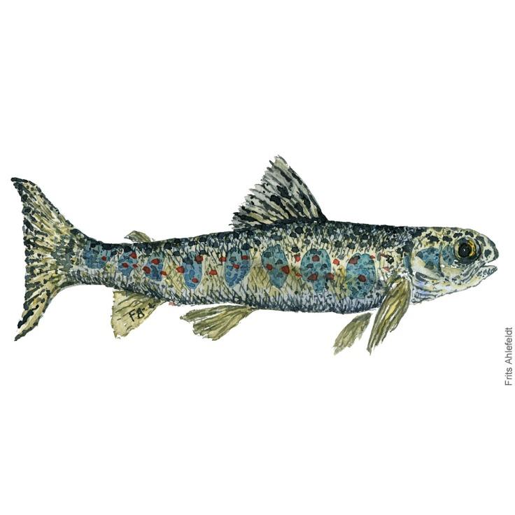 Lakseyngel - young salmon fish watercolor illustration. Painting by Frits Ahlefeldt. Fiske akvarel