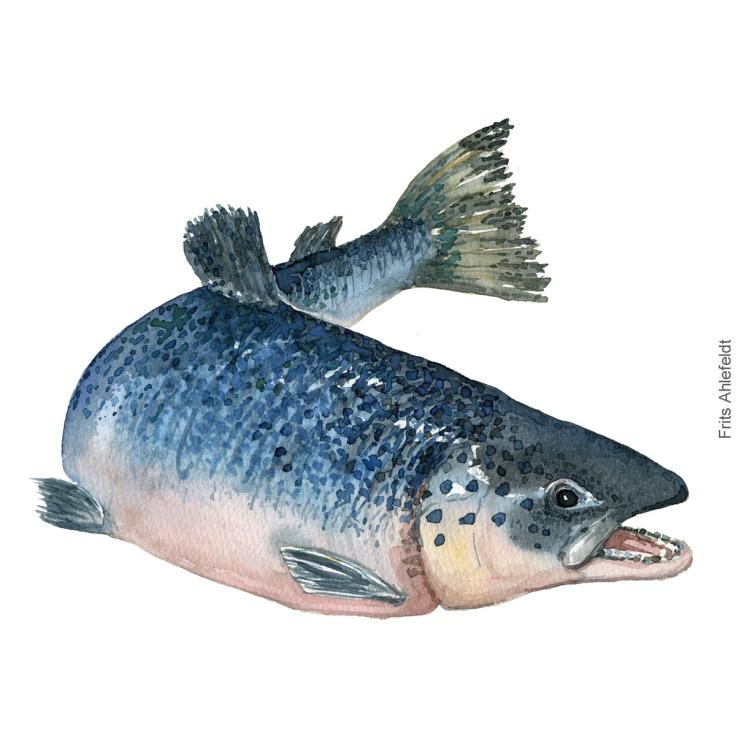 Laks - Salmon Lakseyngel - Atlantic Salmon fish watercolor illustration. Painting by Frits Ahlefeldt. Fiske akvarel
