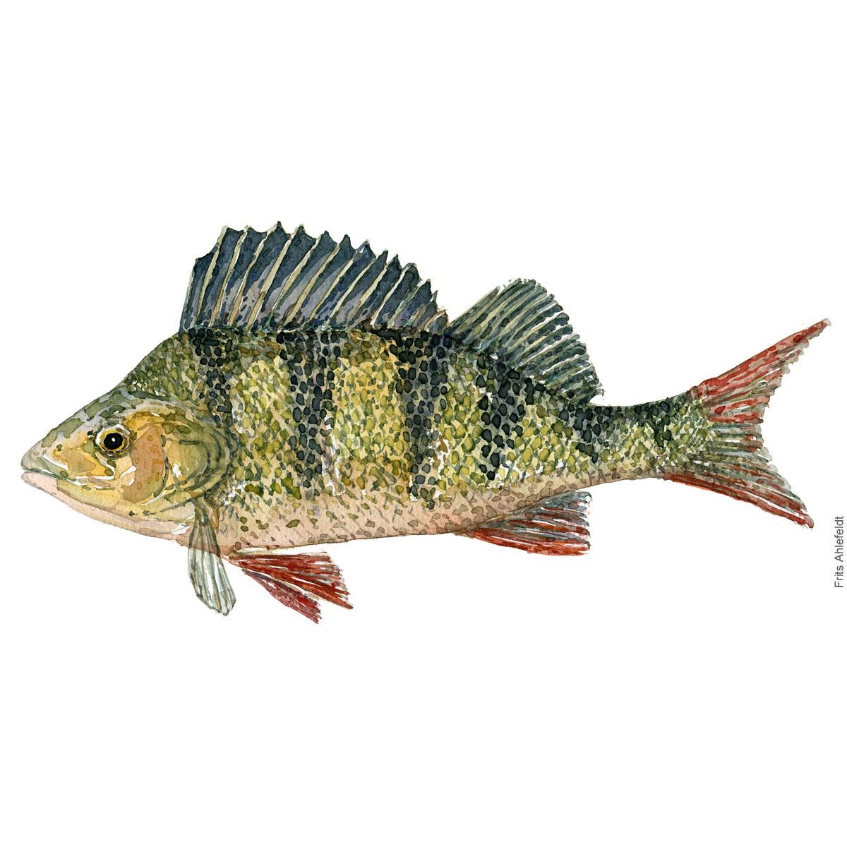 Aborre - fish watercolor illustration. Painting by Frits Ahlefeldt. Fiske akvarel