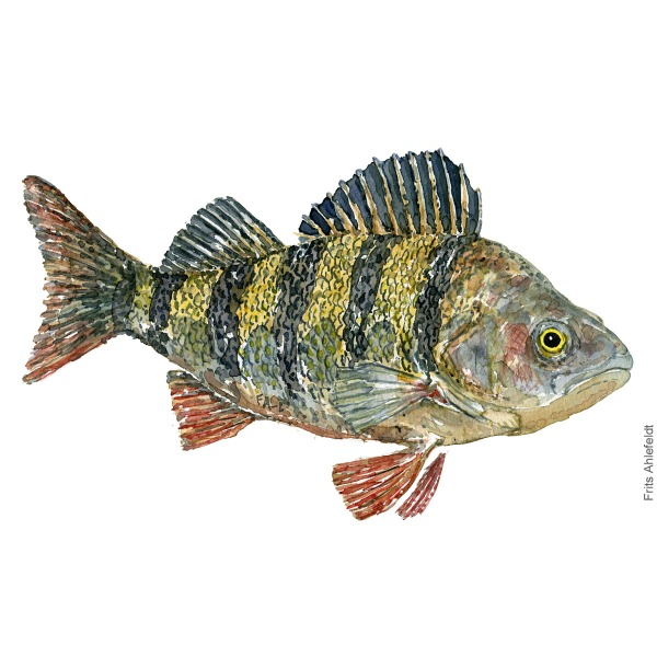 Aborre - Perch fish watercolor illustration. Painting by Frits Ahlefeldt. Fiske akvarel