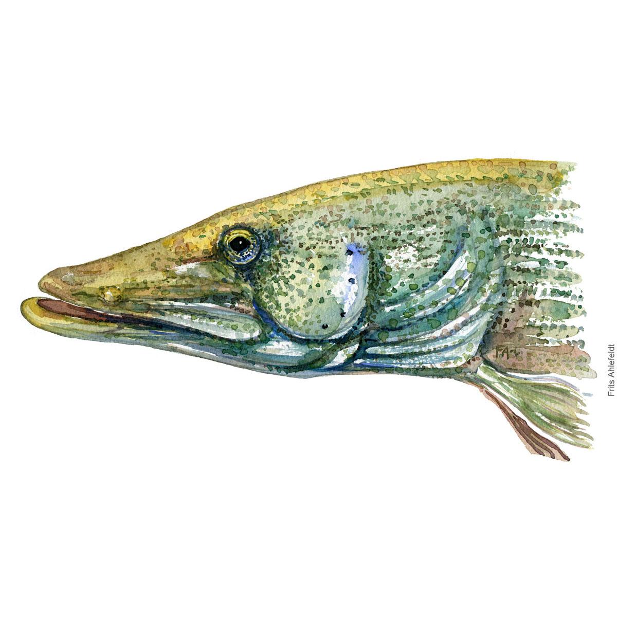 Gedde - Pike fish watercolor illustration. Painting by Frits Ahlefeldt. Fiske akvarel